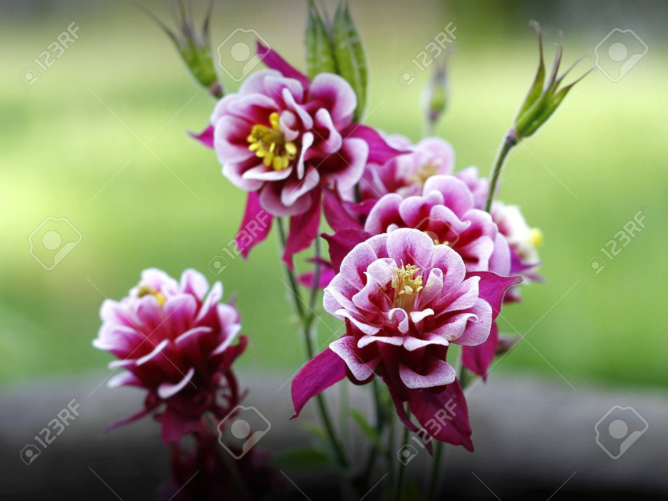 Columbines Flower In The Garden Stock Photo Picture And Royalty