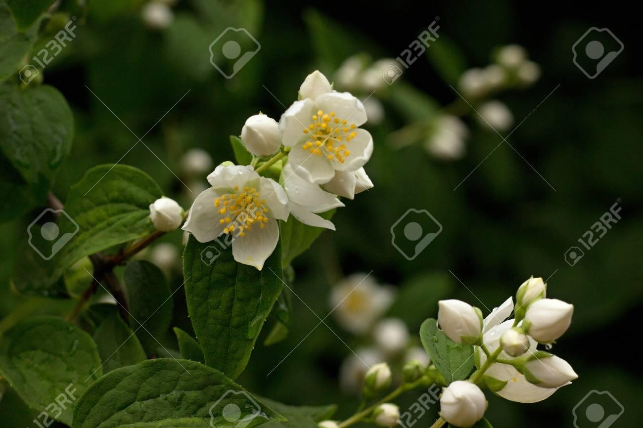 Photo Of The Jasmine Flower Blossom In Summertime Stock Photo