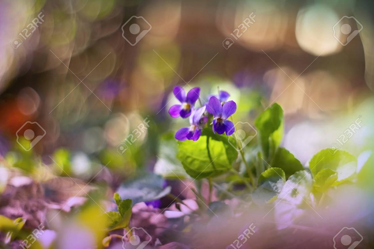 Viola odorata flowers blooming in spring forest stock photo picture stock photo viola odorata flowers blooming in spring forest mightylinksfo