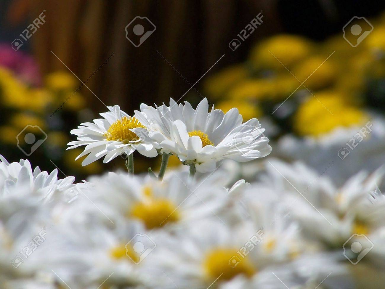 White chrysthanthemums with fall flowers in background stock photo stock photo white chrysthanthemums with fall flowers in background mightylinksfo