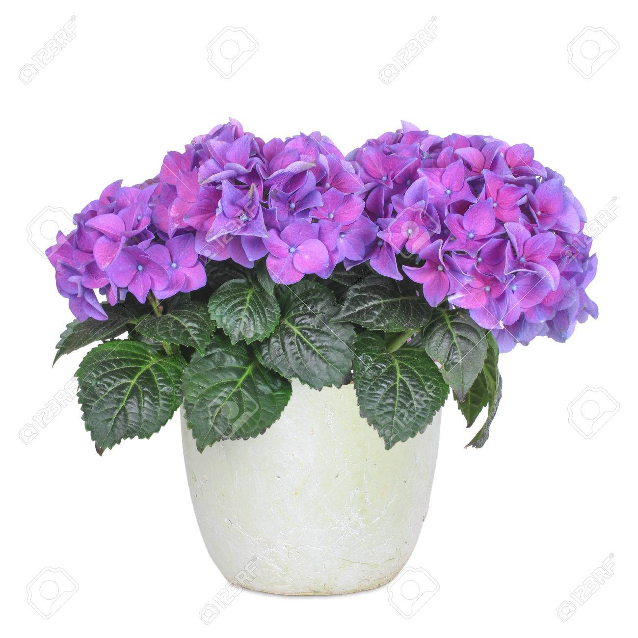 Purple and rose hydrangea, isolated - 32860312