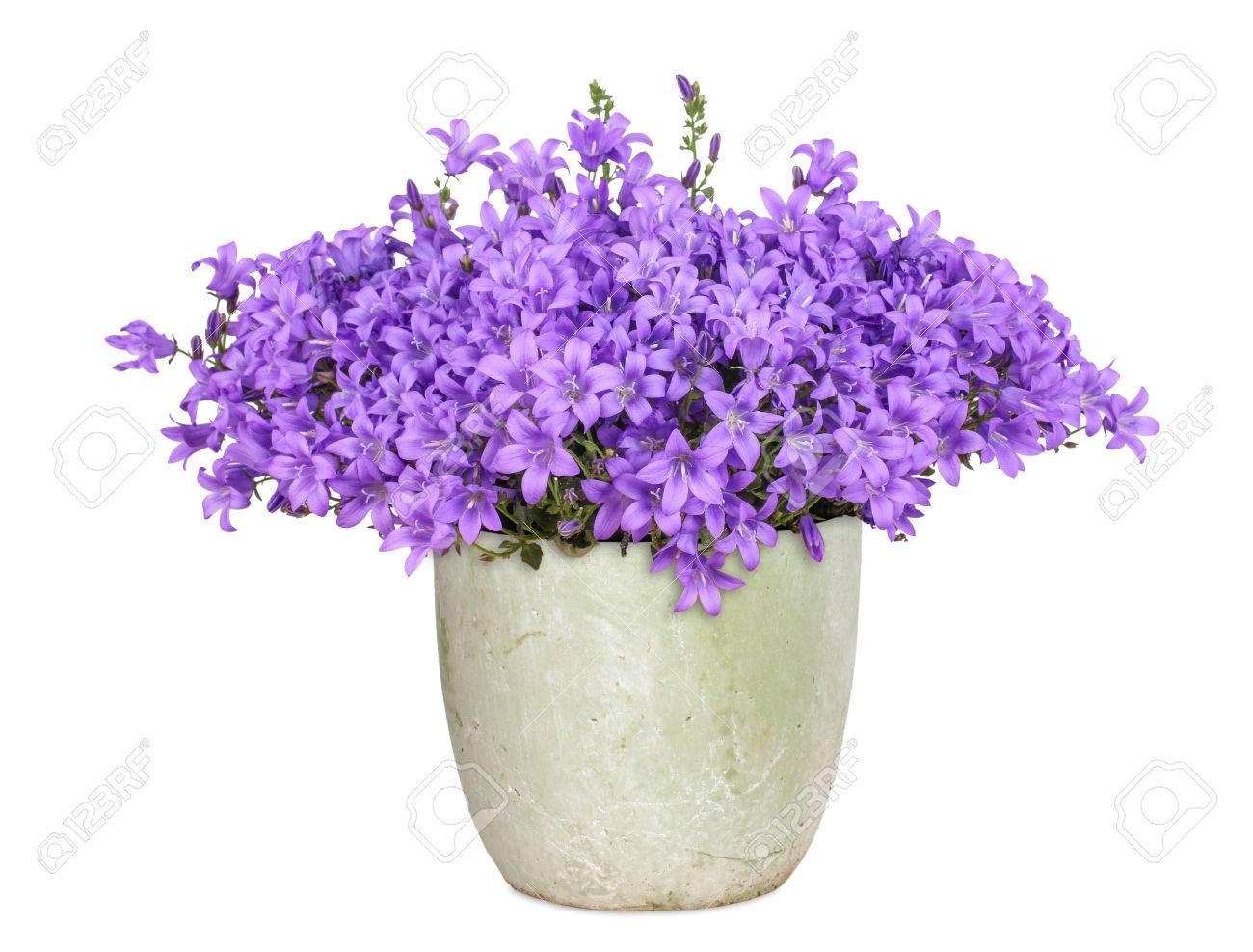 Purple campanula, isolated - 32860743