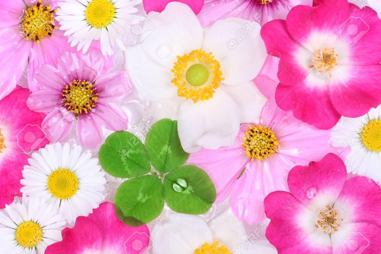 Fiori Quadrifoglio.Immagini Stock Quadrifoglio Con Fiore Sfondo Image 32863281
