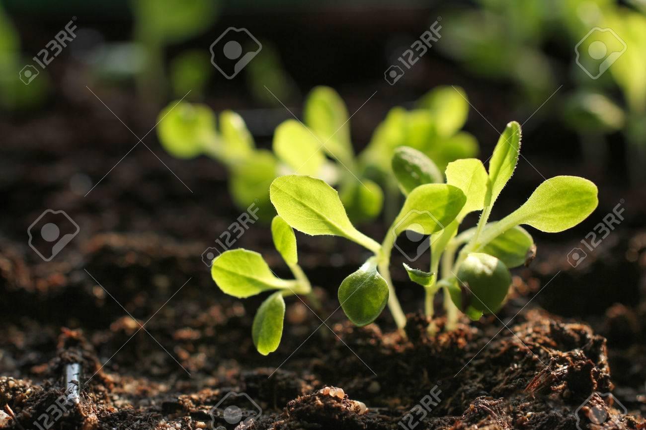 Salad seedlings - 38236765