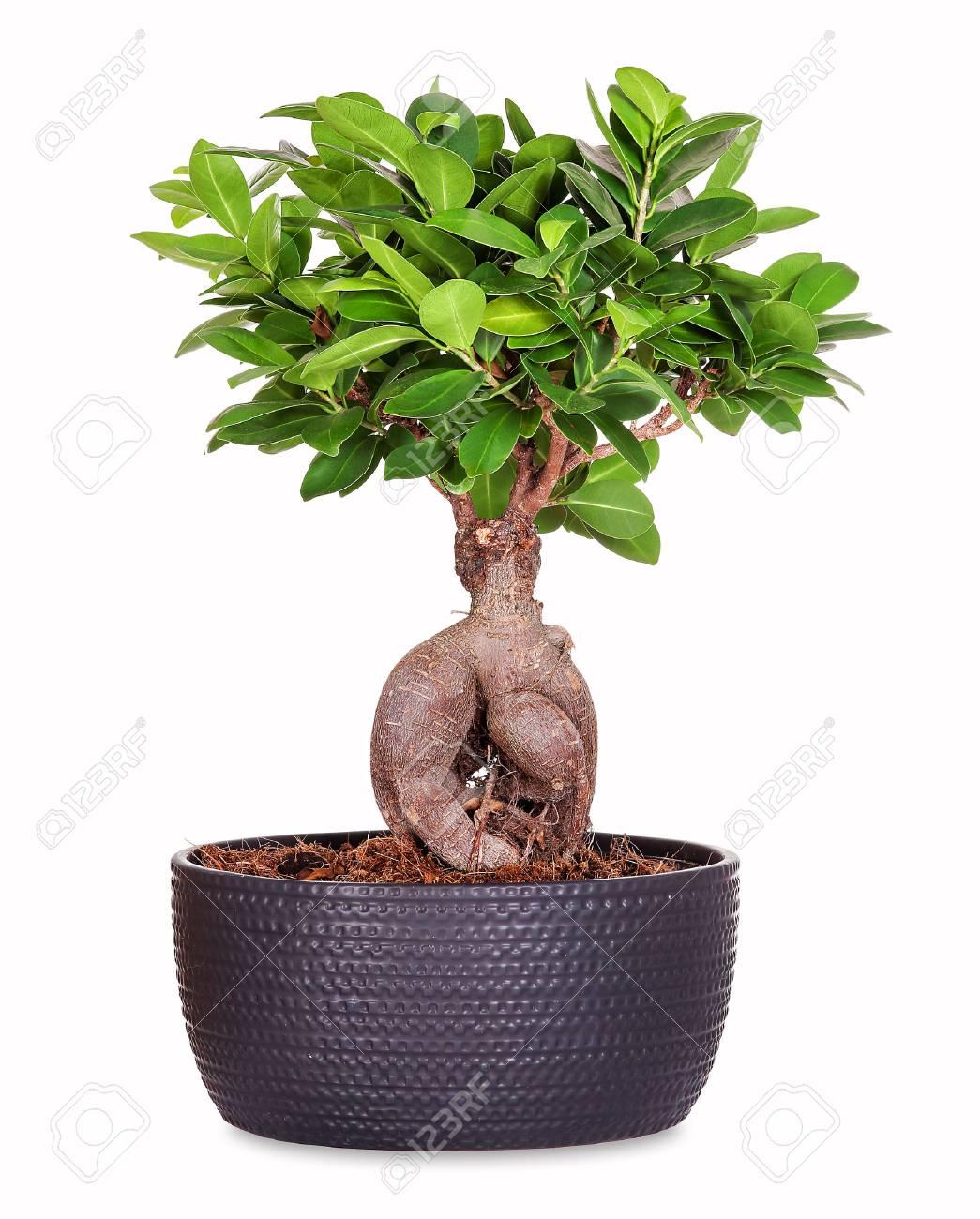 Bonsai ginseng ficus - 88218840