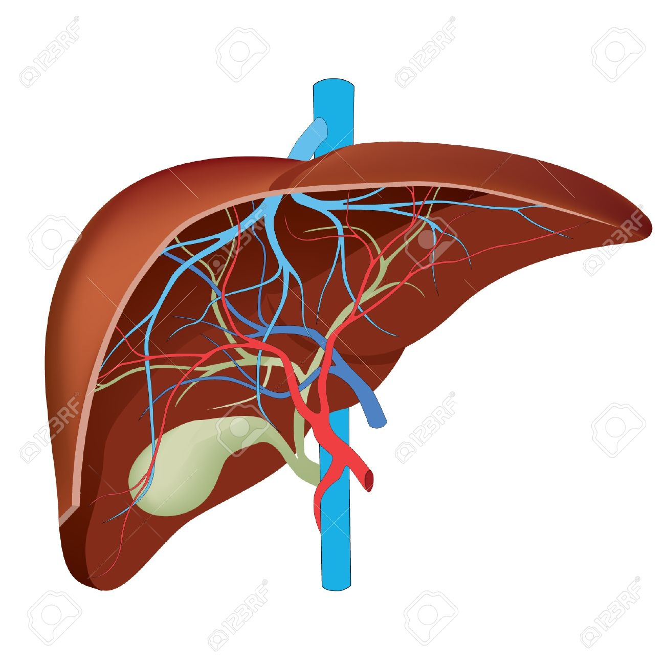 Liver Structure Of The Human Liver Scientifically Accurate Royalty