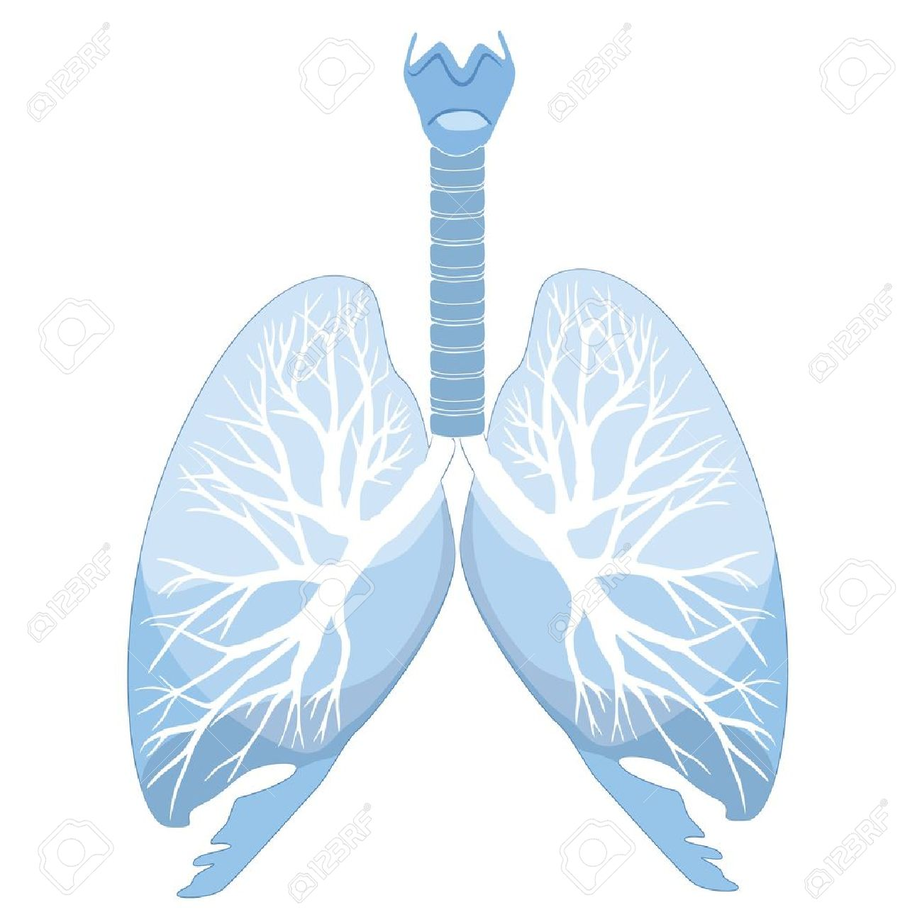 Human lungs and bronchi  Vector illustration Stock Vector - 17280127