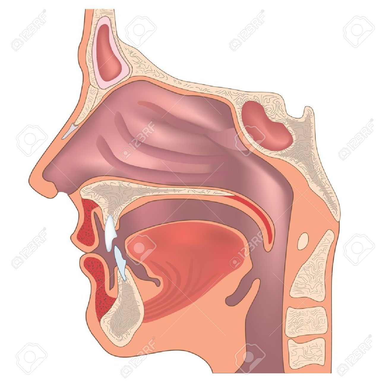 Anatomy of the nose and throat