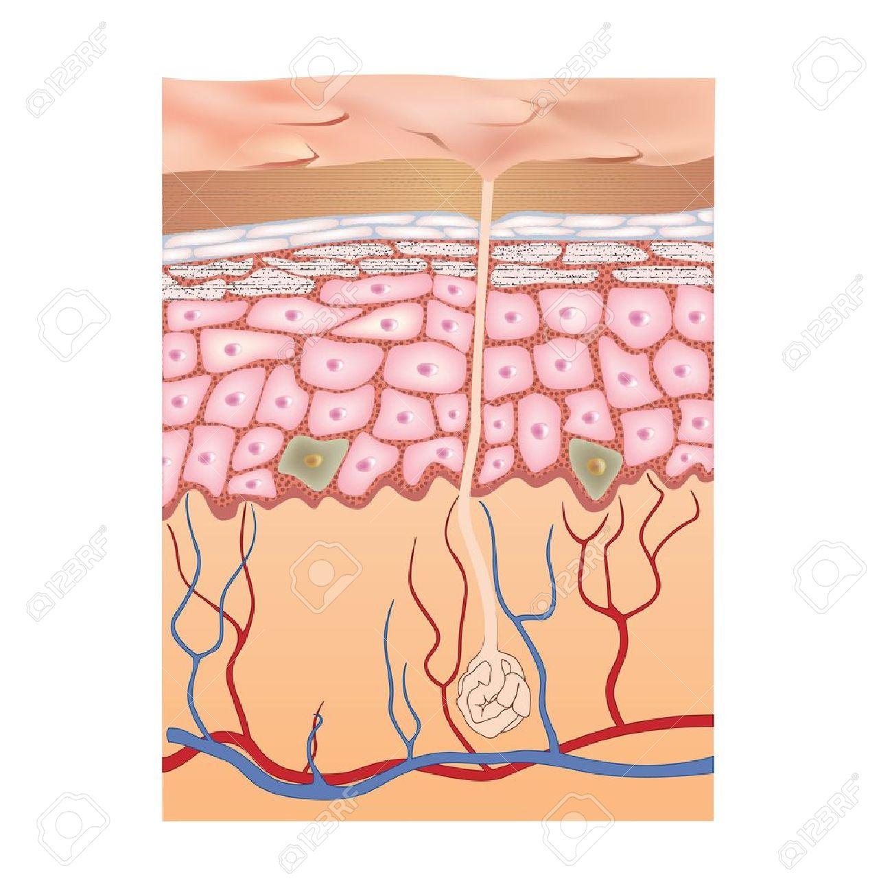 Estructura De La Piel Vector Ilustración De La Anatomía Humana ...