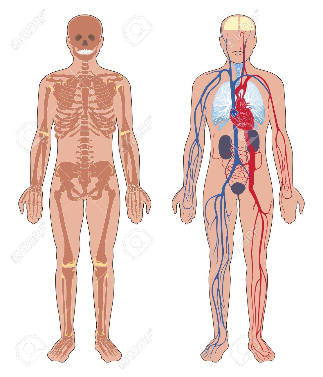 Anatomía Humana Set De Ilustración Vectorial Aislados En Fondo Blanco Humanos Estructura Del Esqueleto Del Cuerpo Y El Sistema Vascular Circulatorio