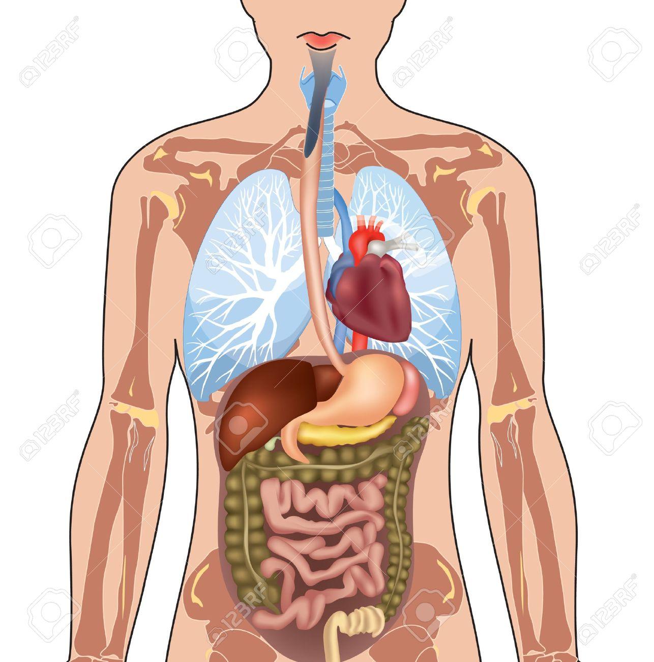 Anatomie Du Corps Humain anatomie du corps humain illustration isolé sur fond blanc clip art