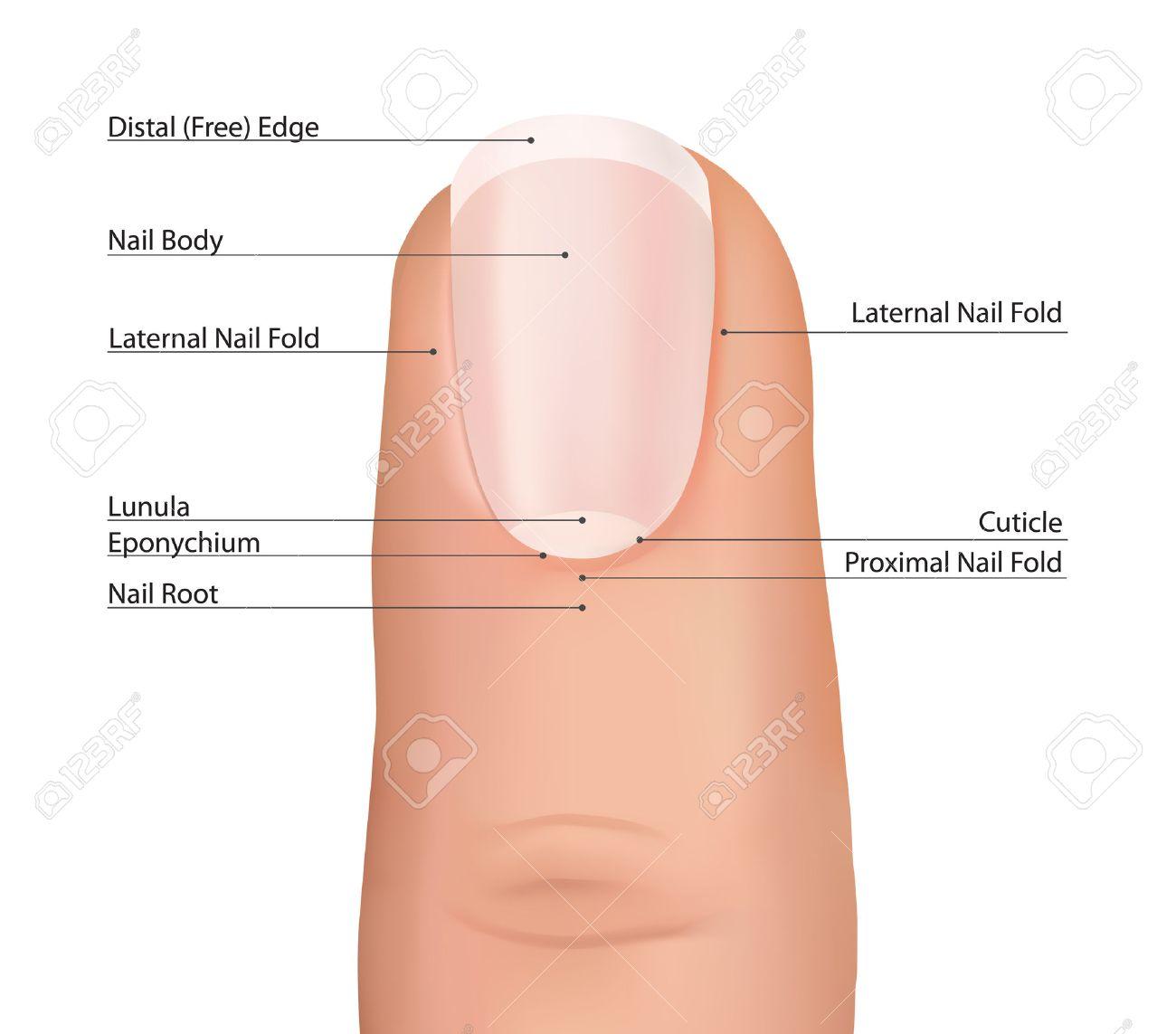 Anatomía Dedo De Uñas Uñas Vector Ilustraciones Vectoriales, Clip ...