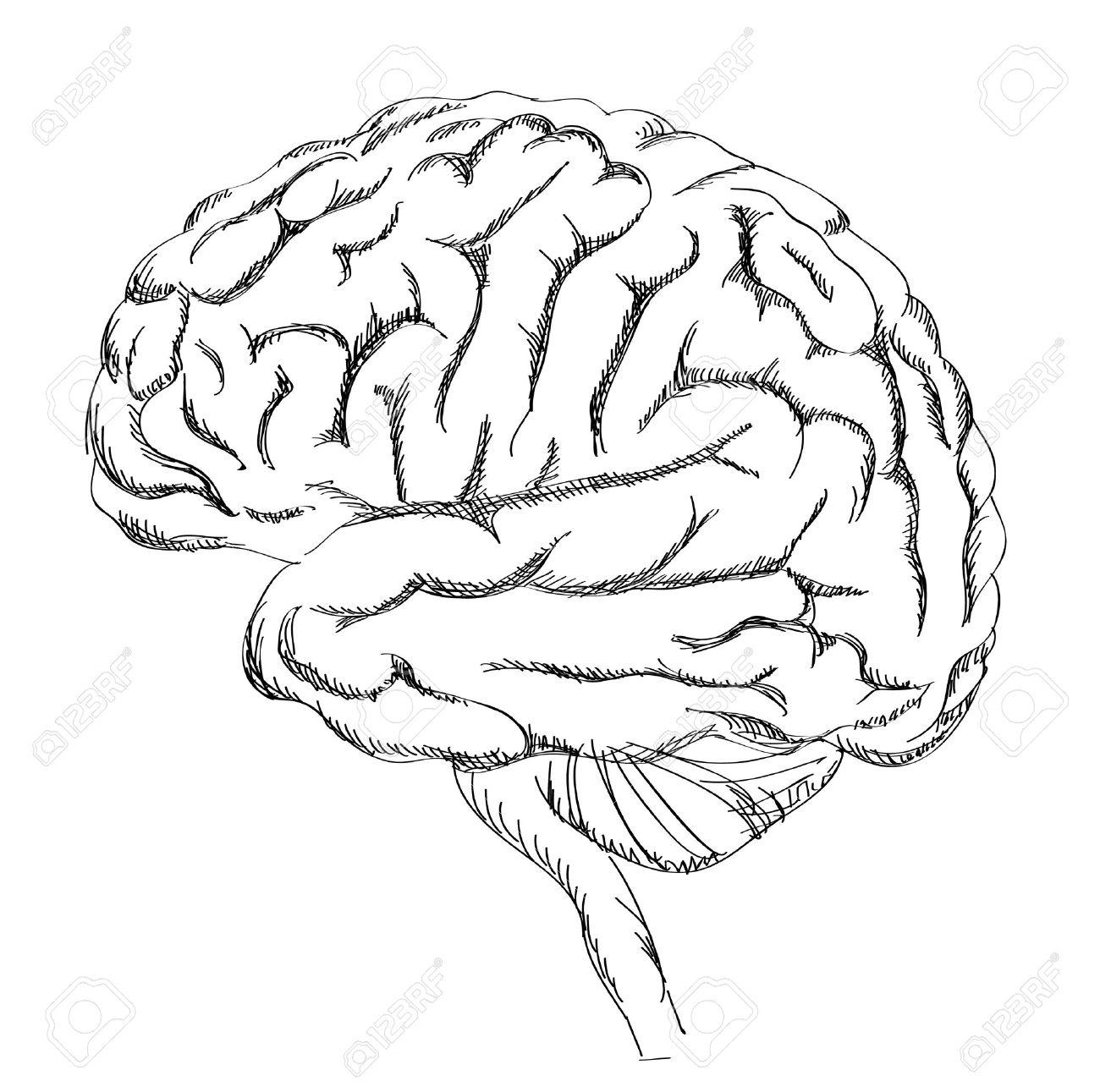 Gehirn-Anatomie. Menschliche Gehirn Seitenansicht. Sketch ...