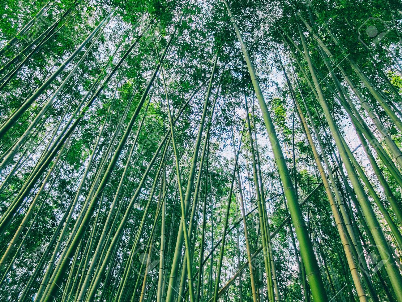 Thicket Of Lush Green Bamboo Plants Looking Up From Below Into