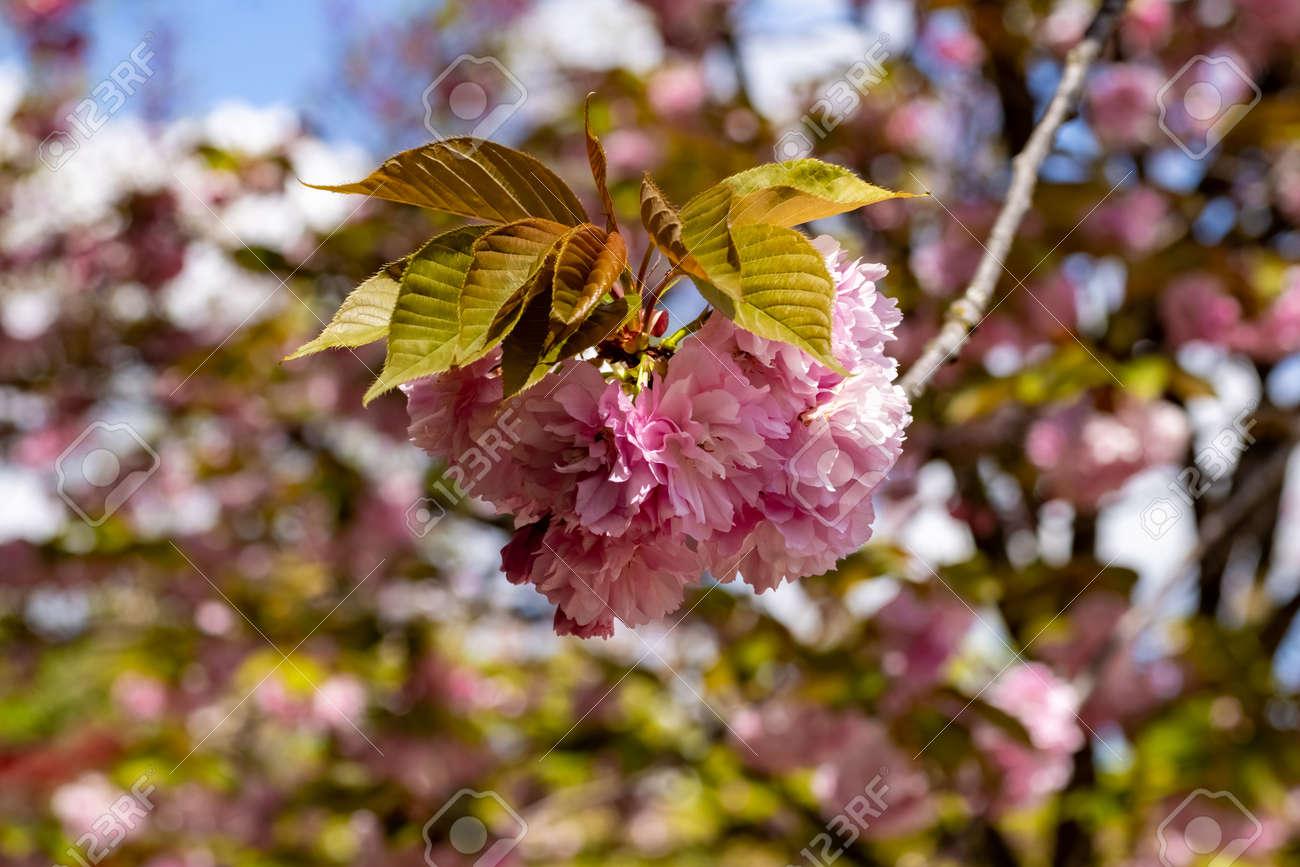 A Cherry flower in the Japanese garden inside the Botanical Garden of Rome, Italy - 170315554