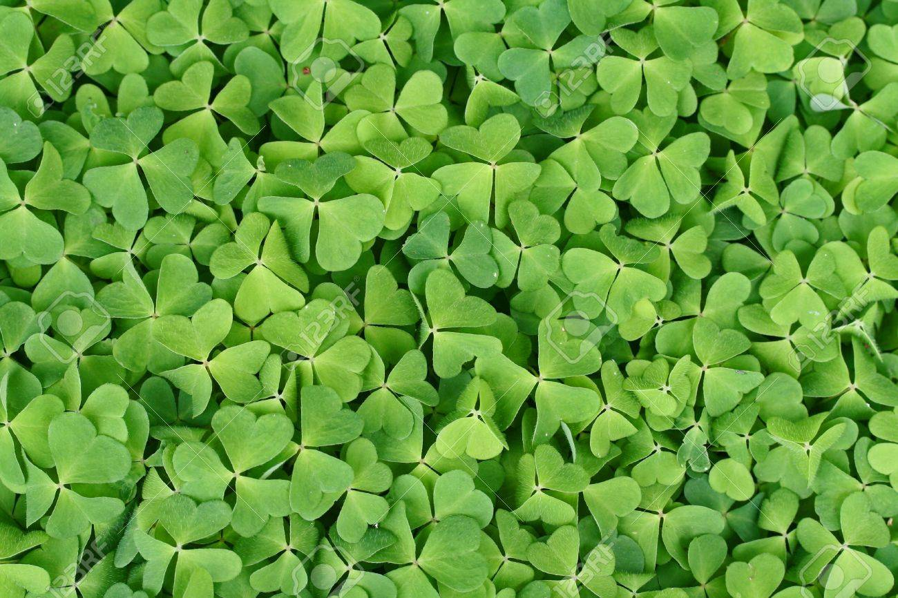 field of lots of green clover Stock Photo - 8046060