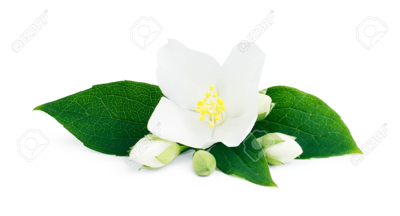 White flowers of jasmine on the white background stock photo stock photo white flowers of jasmine on the white background izmirmasajfo