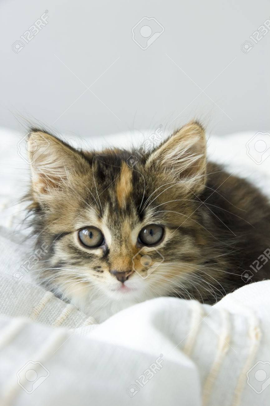 Coloriage Chat Maine Coon.Tortie Coloring Maine Coon Cat On A Beige Blanket