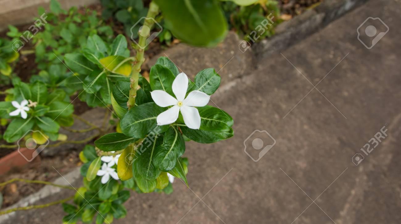 Jasmines white flowers blooming jasminum polyanthum stock photo jasmines white flowers blooming jasminum polyanthum stock photo 91313619 izmirmasajfo