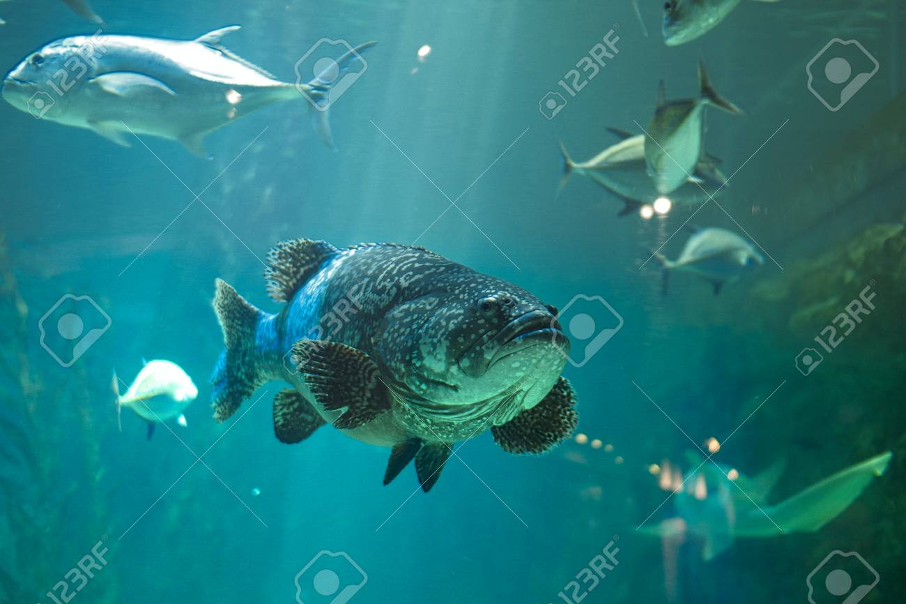 An Ugly Fish In A Fish Tank Is Swimming Around Stock Photo Picture