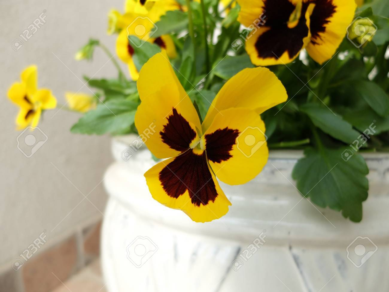 Yellow Pansy Flowers In A White Pot Stock Photo Picture And Royalty