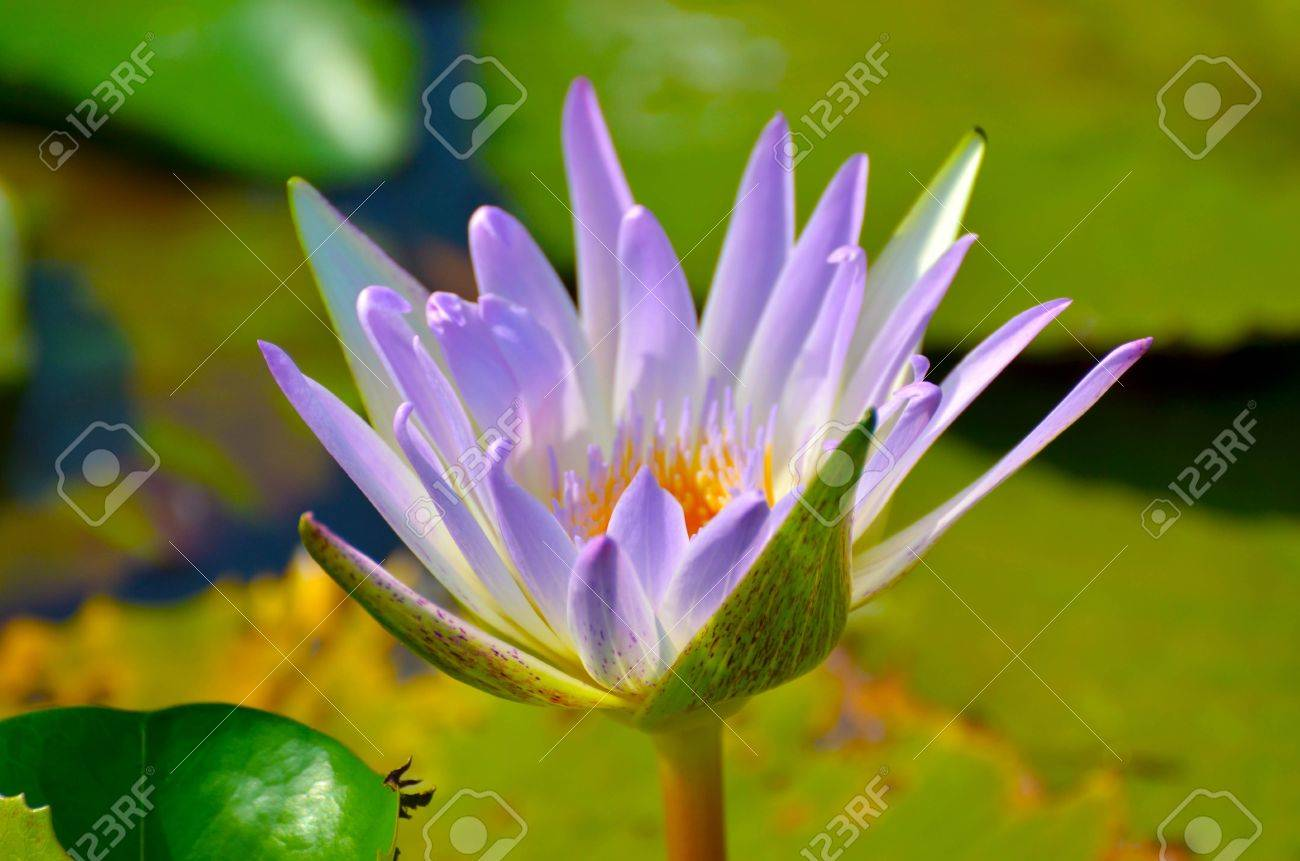 Lotus in Vachirabenjatas Park Thailand Stock Photo - 18827729