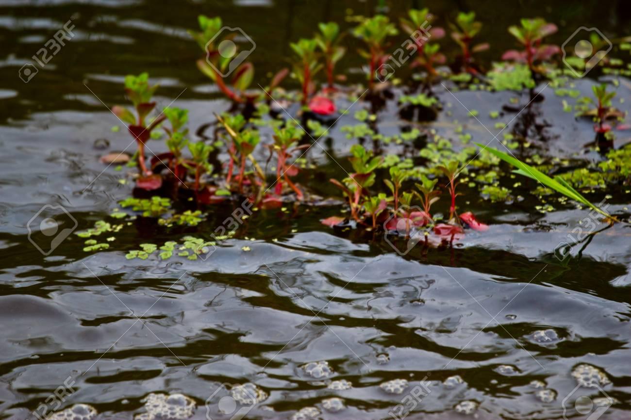 aquatic Plants Stock Photo - 19725499