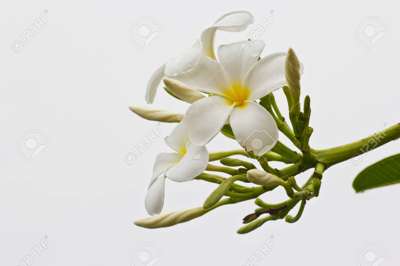 White Hibiscus Flower With Branch Stock Photo Picture And Royalty