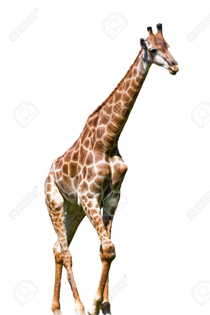 giraffe is isolated on white background Stock Photo - 25576581