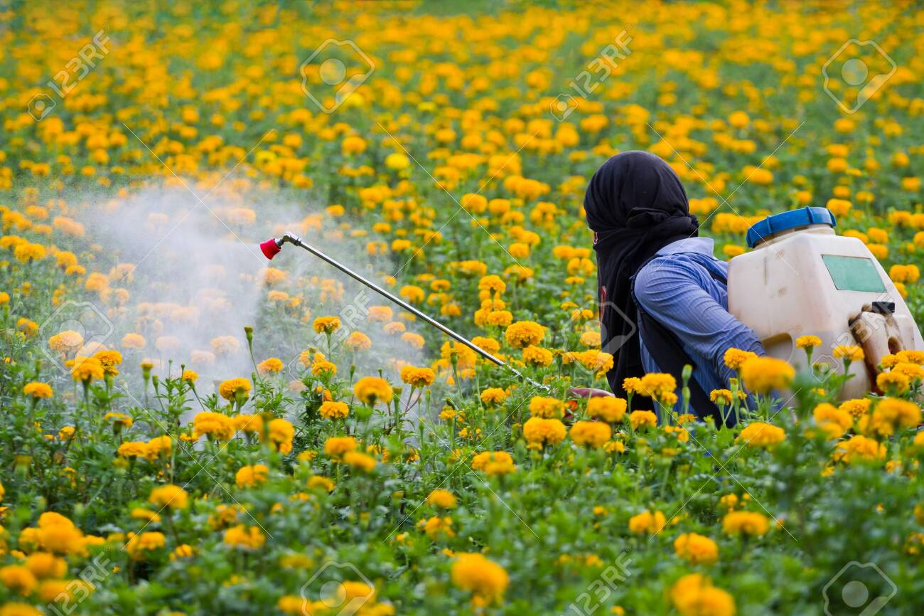 Pesticides In The Garden Marigold Stock Photo Picture And