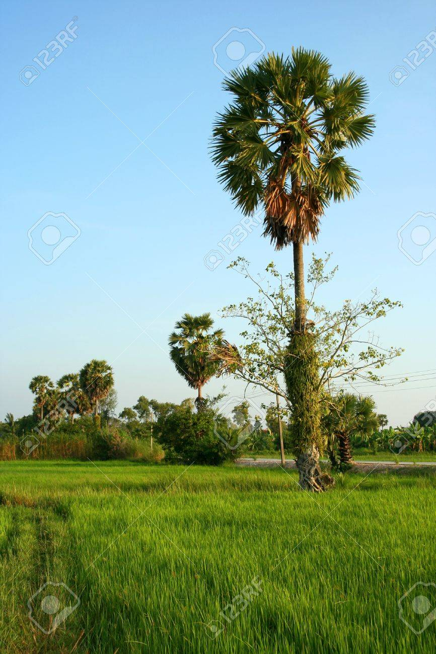Palm sugar palm trees, green paddy fields fresh medium. Stock Photo - 8055679