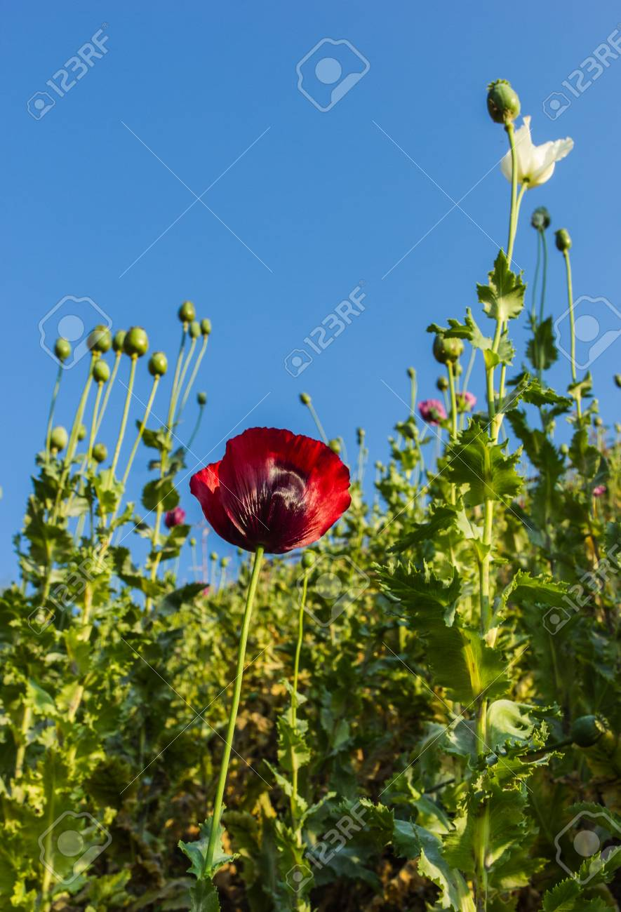 Opium Poppy Red Flowers In Field Stock Photo Picture And Royalty