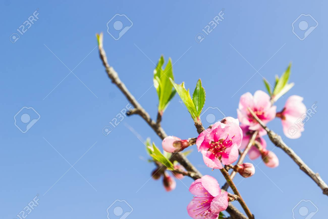 Beautiful Peach Blossom Flowers On Tree With Blue Sky Background