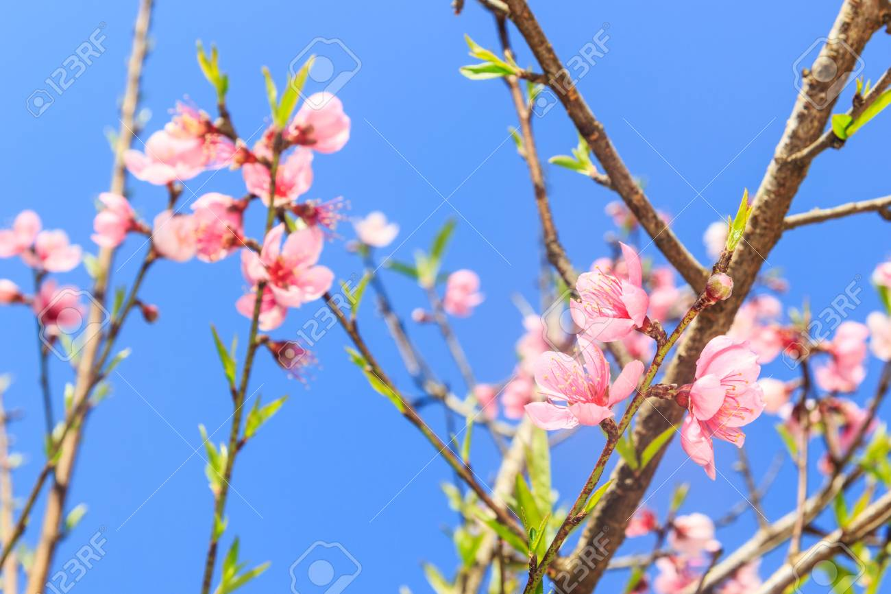 Beautiful peach blossom flowers on tree with blue sky background beautiful peach blossom flowers on tree with blue sky background stock photo 40833555 izmirmasajfo