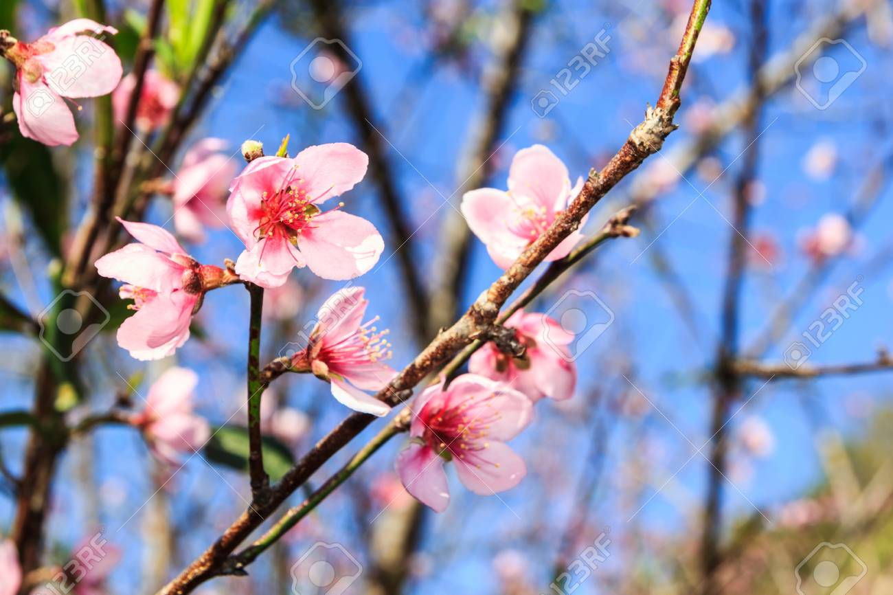Beautiful peach blossom flowers on tree with blue sky background beautiful peach blossom flowers on tree with blue sky background stock photo 40833557 izmirmasajfo