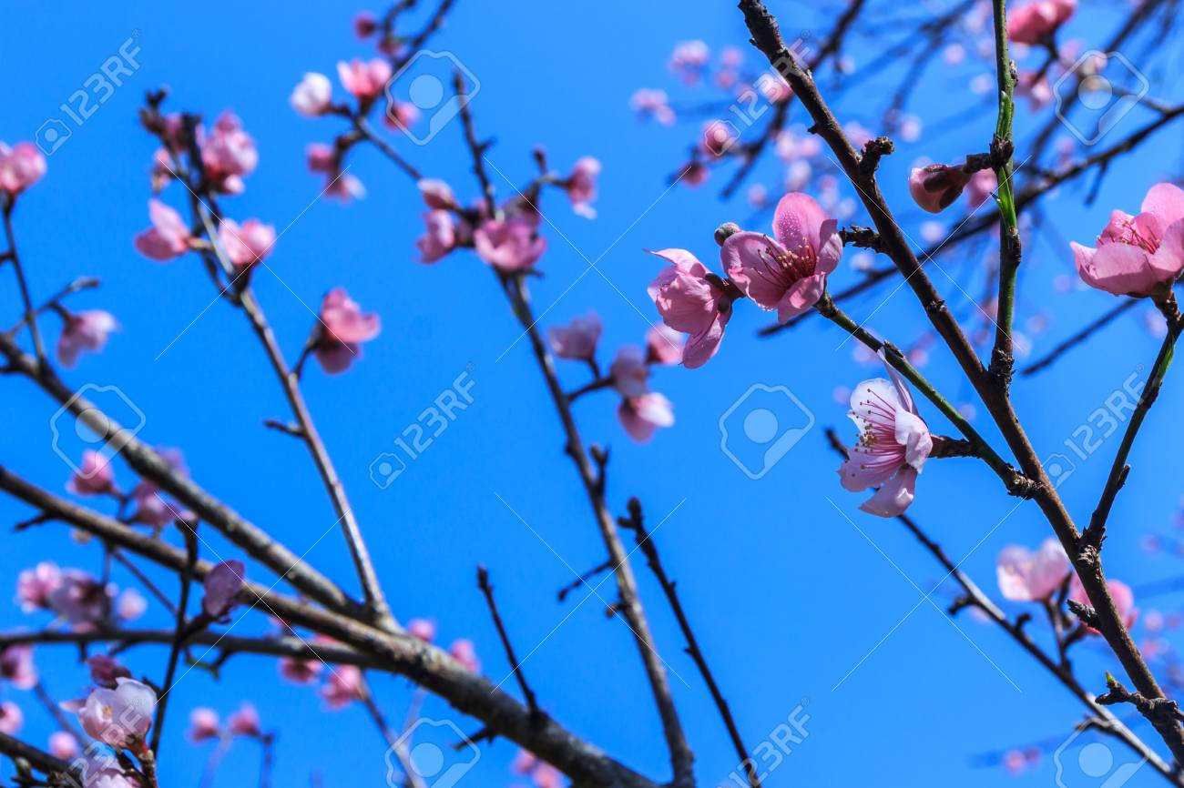 Beautiful peach blossom flowers on tree with blue sky background beautiful peach blossom flowers on tree with blue sky background stock photo 40833560 izmirmasajfo