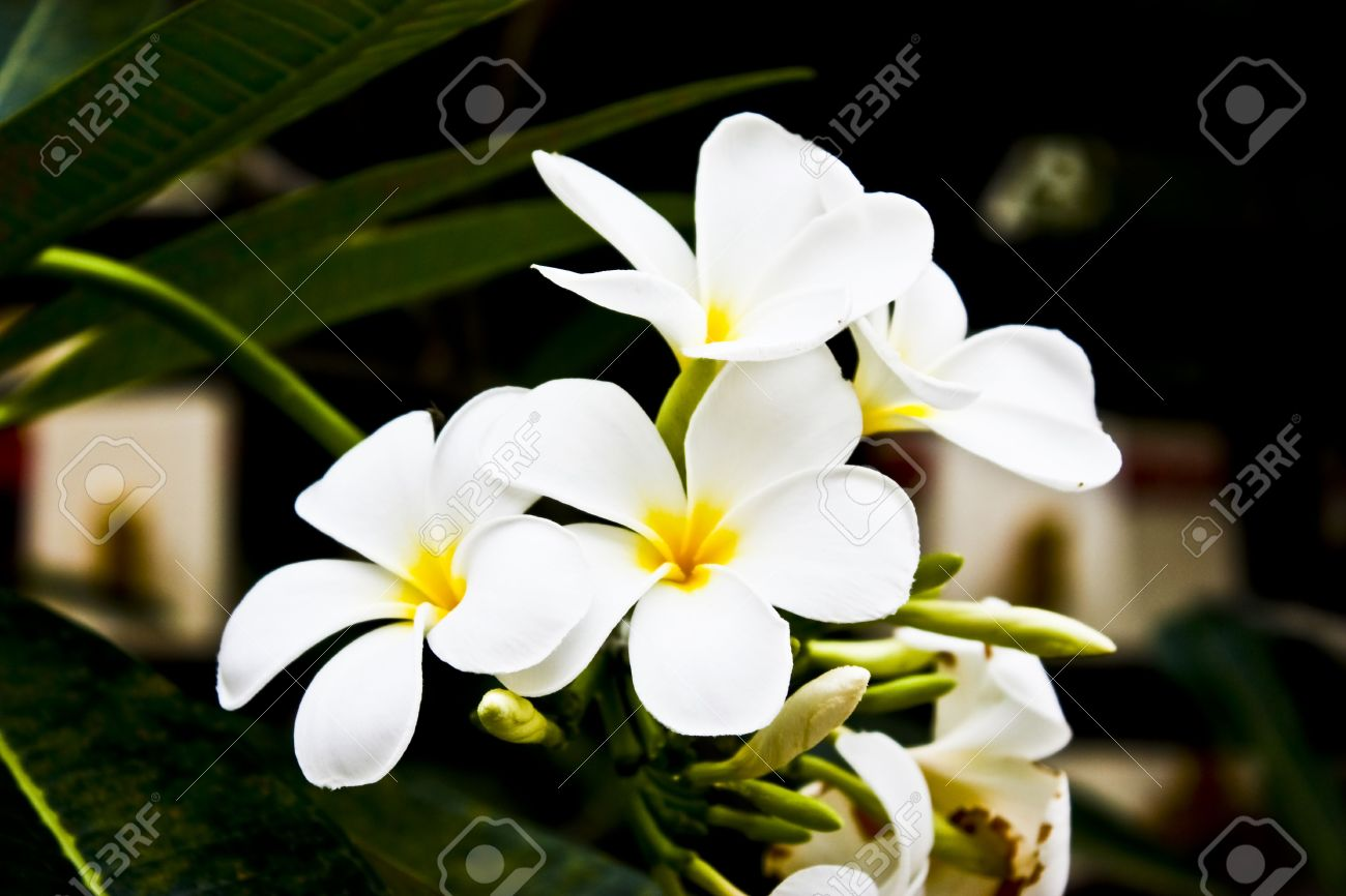 White Flower And Yellow Center Stock Photo Picture And Royalty Free