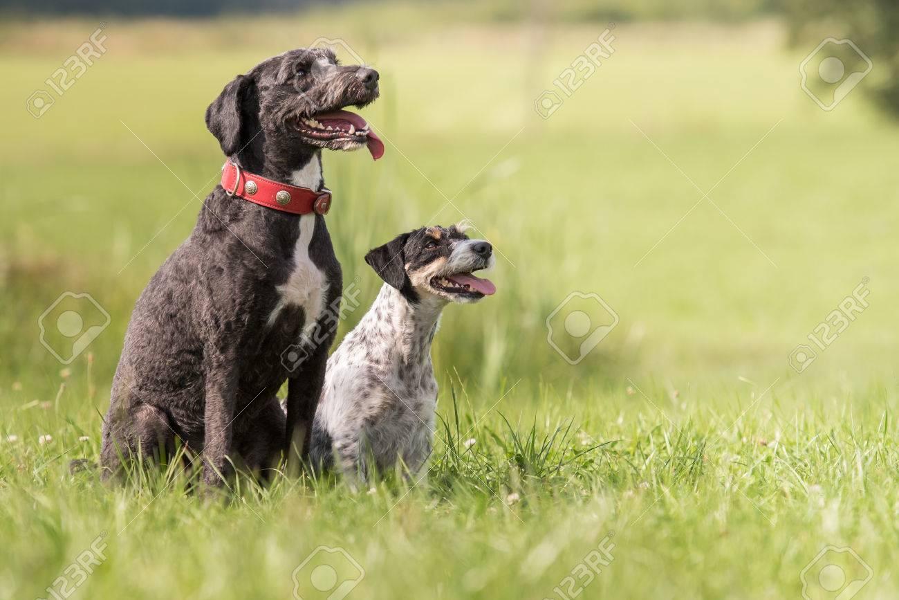 Amitié Entre Chien Deau Portugais Et Jack Russell Terrier