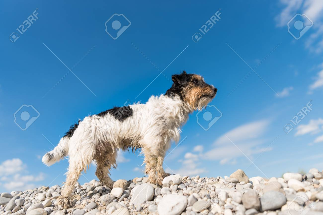 Dog Standing On Stones Against Blue Sky - Jack Russell Terrier ...