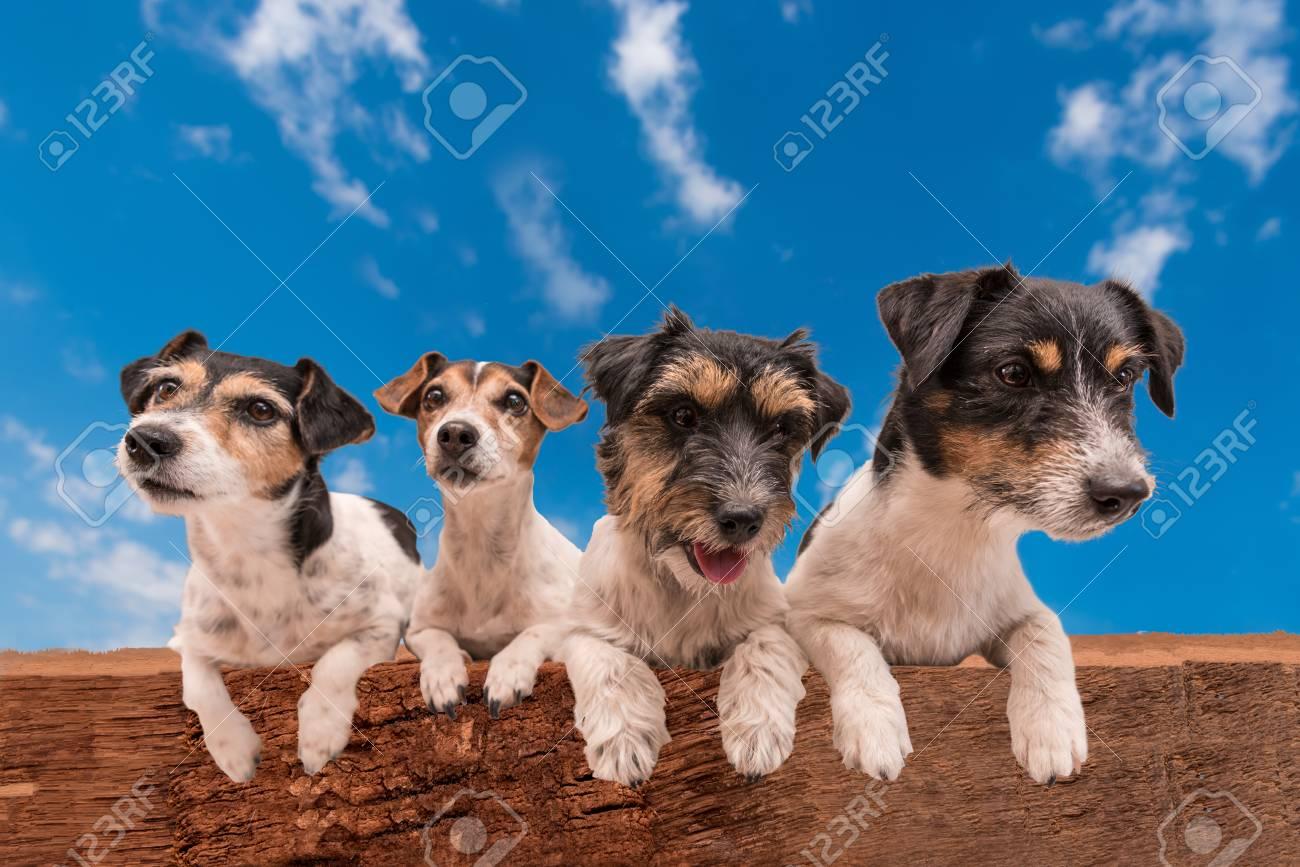 Hunde Auf Hölzernen Bummeln Vor Blauem Himmel - Jack Russell Terrier ...