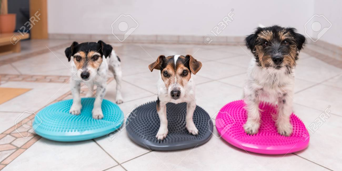 Three Small Dogs On Balance Pillows - Jack Russell Terrier Doggies ...