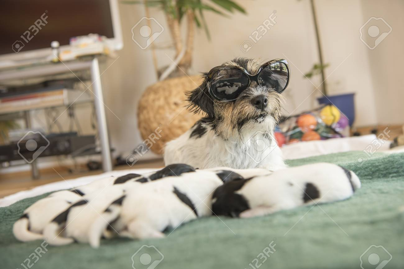 Cool Jack Russell Terrier Dog With Puppies Doggies 6 Days Old