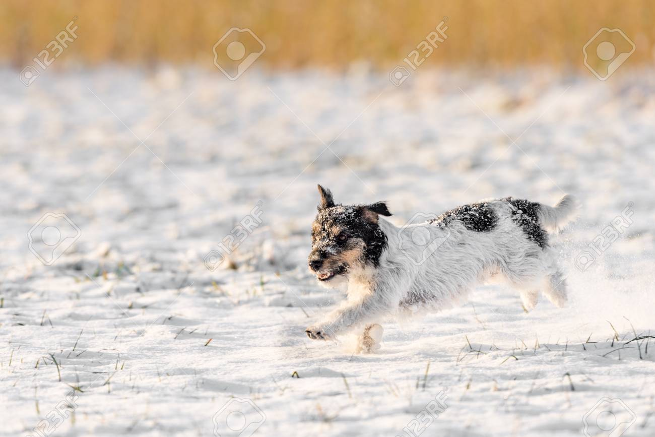 Small Cute Dog Running In The Snow In Winter Tricolor Jack Stock