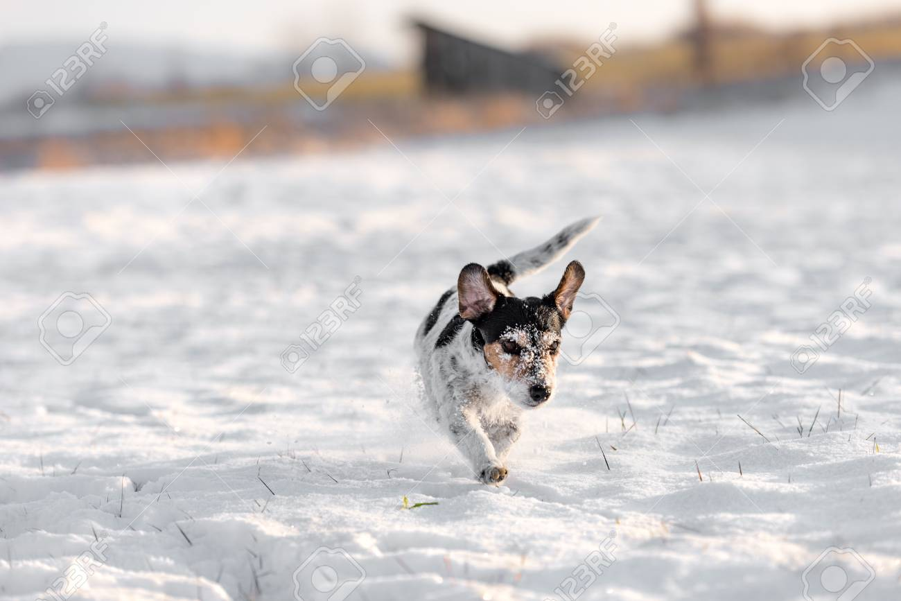 Small Cute Dog Running In The Winter Snow Tricolor Jack Russell