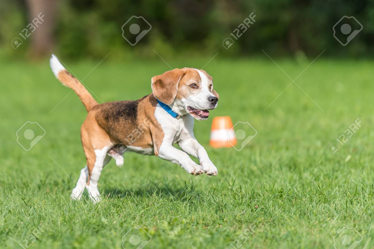 Cute Beagle Dog Running Over The Meadow Stock Photo Picture And