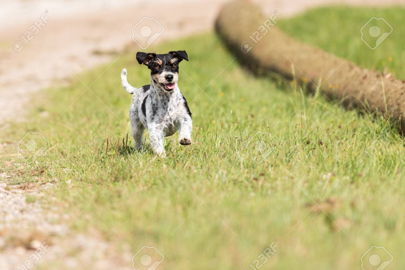 Cute Dog Running Almost Across The Meadow Small Tricolor Jack