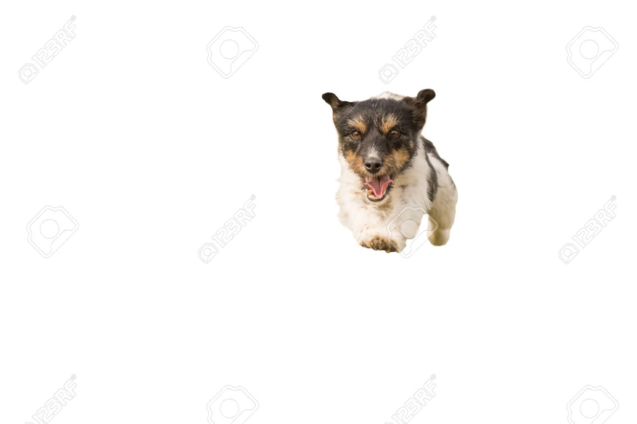 Jack Russell Terrier Two Years Old Small Cute Dog Running And