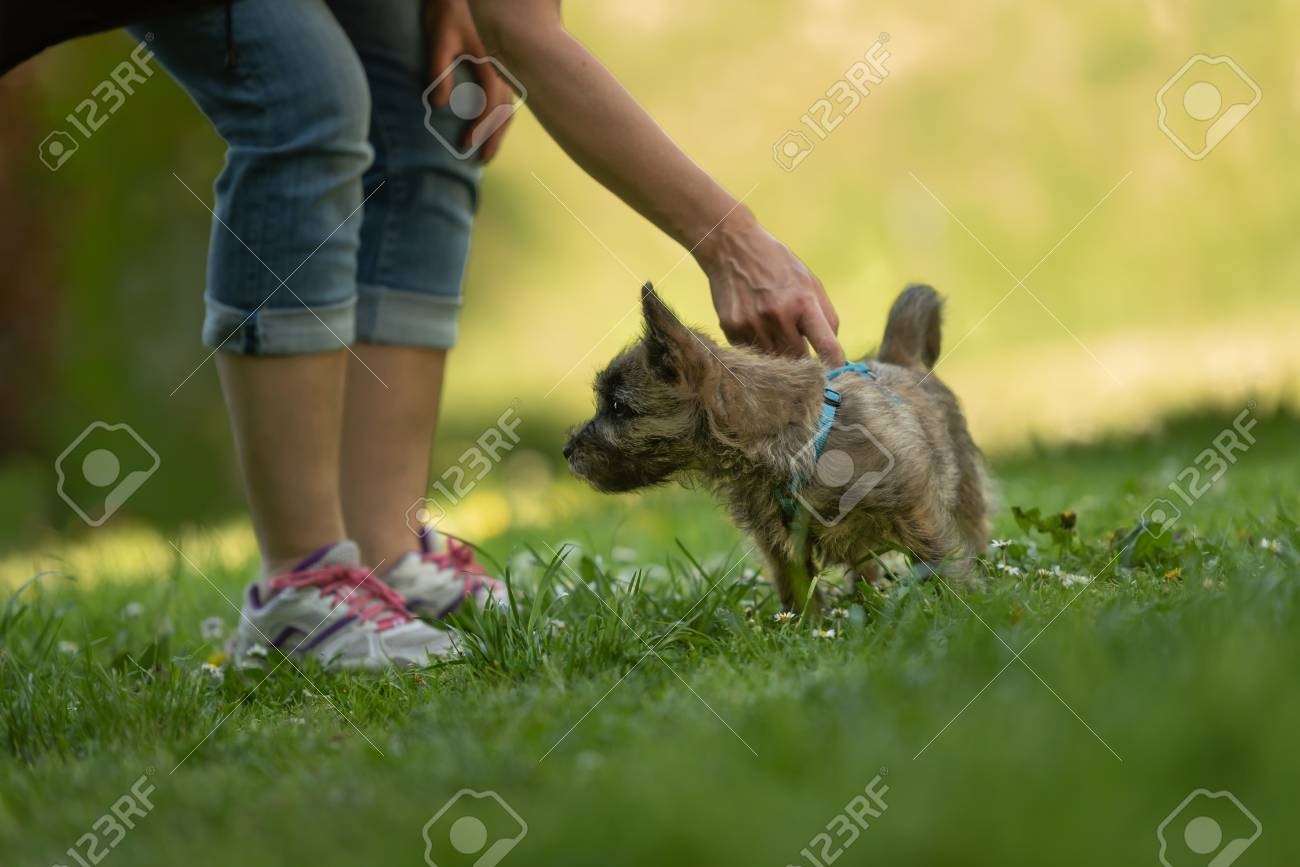 Cairn Terrier puppy 13 weeks old - cute little dog playing with
