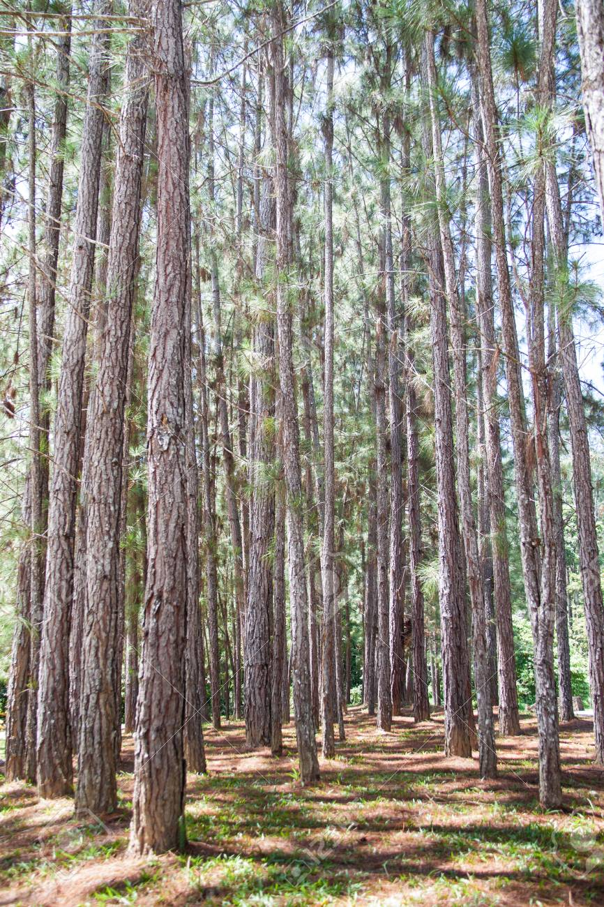 Tropical Highland Forest Tropical Highland Pine Forest