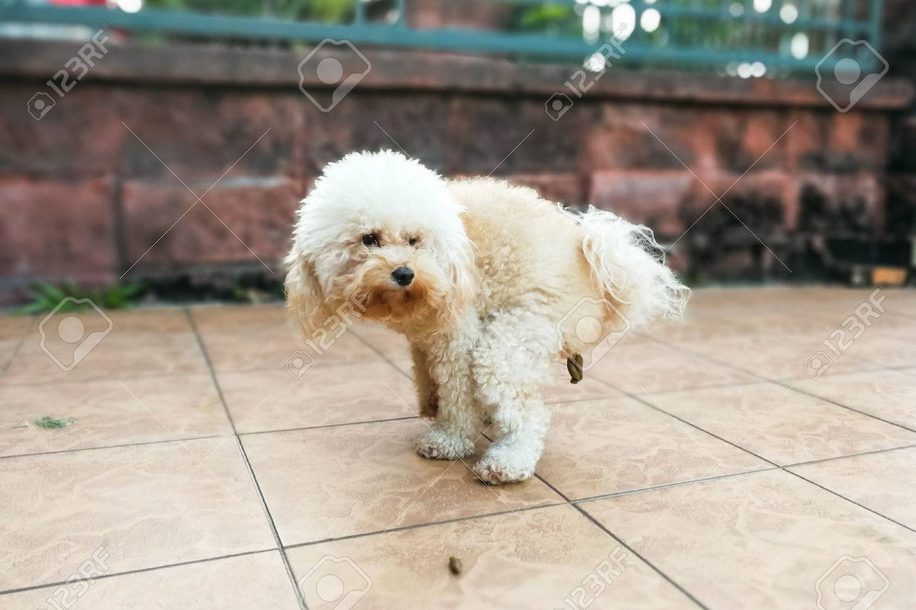 White Tet Poodle Dog Pooping Within House Compound Stock Photo ... | Dogs Pooping In The House